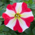 Petunia King of Hearts