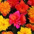 Portulaca Colorblast Double Mixed