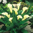 Zantedeschia Collection