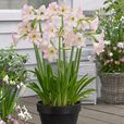 Amaryllis Sonatini Collection (Outdoor)