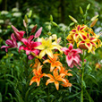 Lily Super Asiatic Hybrids Mixed