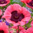 Papaver Collection