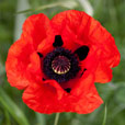 Papaver Beauty of Livermere
