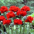 Papaver Collection (Oriental Poppies)  (Power-Mo