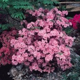 Azalea Japonica Collection (10cm Pot)