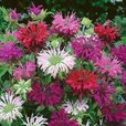 Monarda Mixed (Loose)