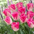 Triumph Tulips Collection