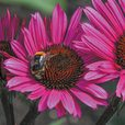 Bee-friendly Echinacea Collection