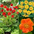 Geum Hardy Collection