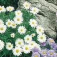 Aster Alpinus Collection