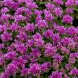 Sedum spurium Collection