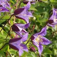 Clematis Royal Collection