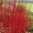 Cornus Collection (Dogwood)