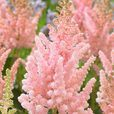 Astilbe Vision Collection