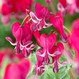 Dicentra Hearts Collection