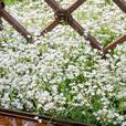 Gypsophila paniculata Collection