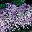 Gypsophila repens Collection