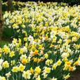 Daffodil and Narcissi Bargain Mixture