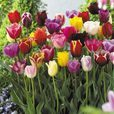 Complete Bargain Tulips Mixed Collection
