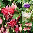 Fuchsia Unusual Trailing Collection