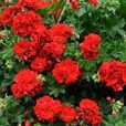 Geranium Great Balls of Fire Dark Red
