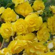 Begonia Giant Cascading Yellow 3/4cm Tubers