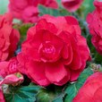 Begonia Mighty Mini Superba Pink