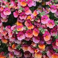 Nemesia Lyric Pink Bi-colour