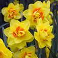 Double Daffodils Complete Collection