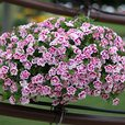 Calibrachoa Double Can Can Pink Tastic