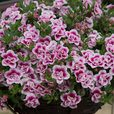 Calibrachoa Double Can Can Unusual Collection