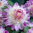 Dahlia Anemone (Powder Puff Collection)