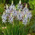 Giant Camassia Collection
