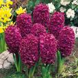 Bedding Sized Hyacinth Collection 14/15cm