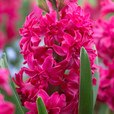 Hyacinth Red Diamond 15/16cm