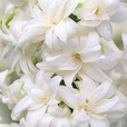 Hyacinth Snow Crystal 15-16cm