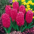Top Size Hyacinth Collection 17-18cm