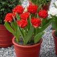 Tulip Double Fringed Collection