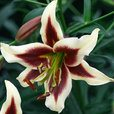 Lilium Beverly Dreams