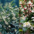 Sarcococca Collection