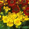Helenium Mixed (7cm Modules)