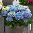 Hydrangea Music Series Collection