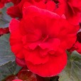 Begonia Sunpleasure Red