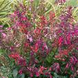Salvia Salmia Mixed
