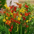 Crocosmia Large Flowering Mixed