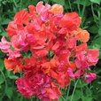 Sweet Pea Summer Sizzler