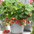Potted Strawberry Collection
