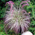 Pennisetum Collection (9cm Pot Plants)