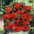 Begonia Pendula Double Giant Orange