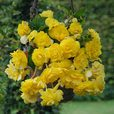 Begonia Pendula Double Giant Yellow